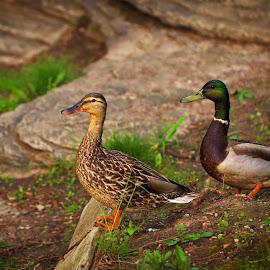Ducks by Ramesh P - Animals Birds ( couple, duck, bird, water bird, amphibian )