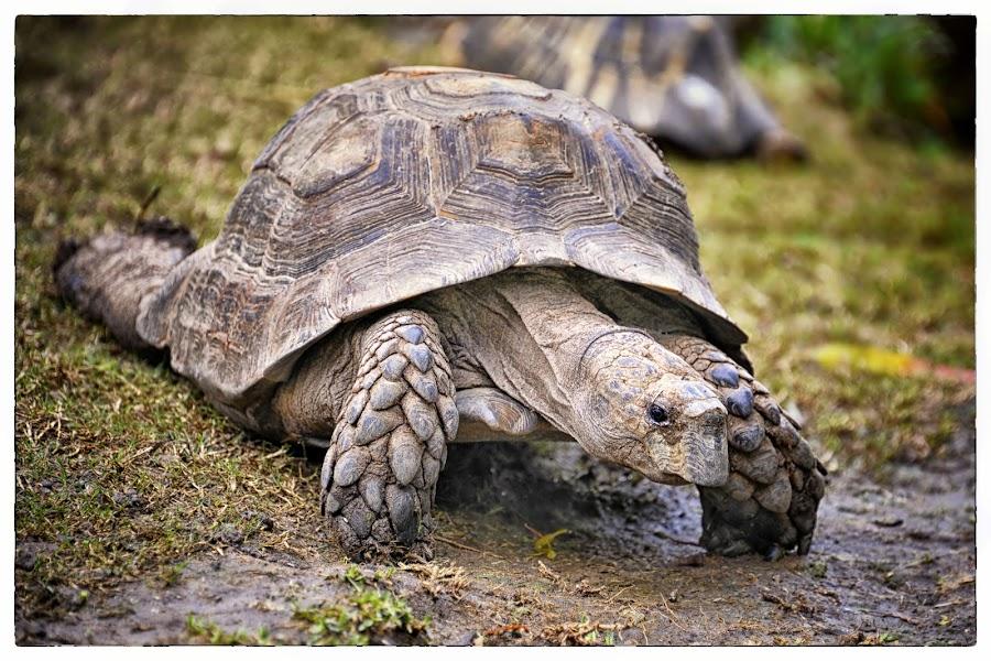 Slowly ... by Veronique Aubois-Mann - Animals Reptiles ( shell, tortoise, ca, details, textures, santa barbara zoo, paws, markings, eye )