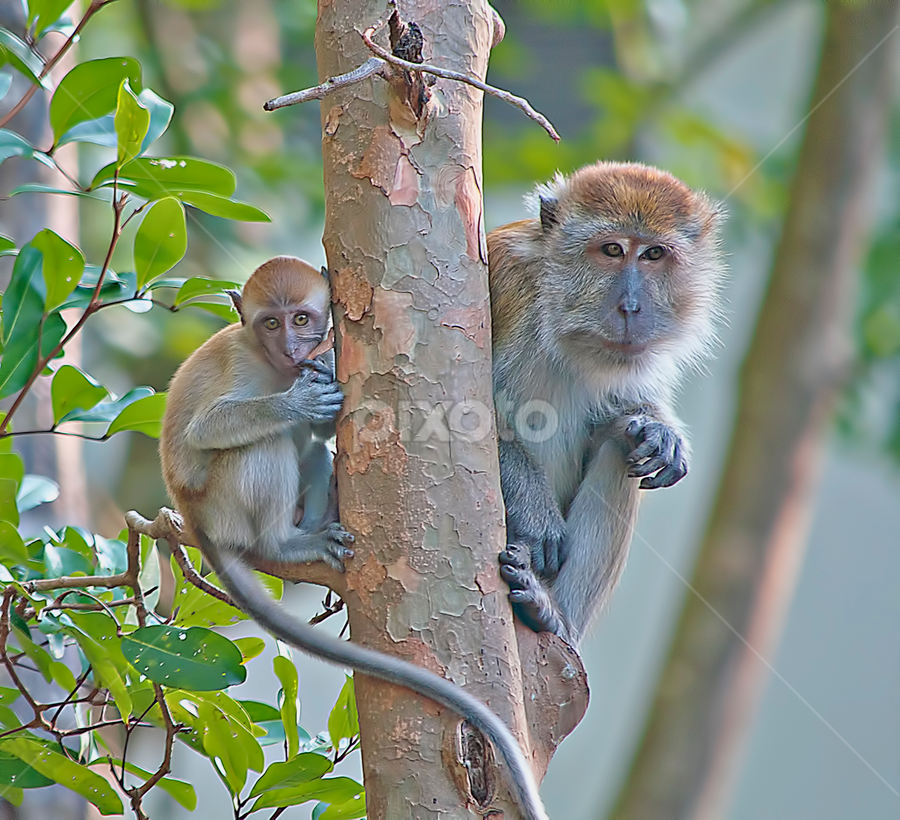 by SweeMing YOUNG - Animals Other Mammals ( animal, monkey )