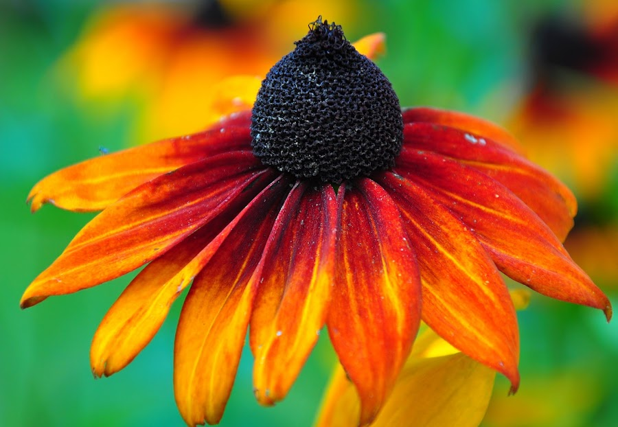 Snazzy blossom by Irena Gedgaudiene - Nature Up Close Gardens & Produce ( snazzy, attractive, flower, blossom,  )