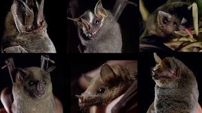 The Bat Man of Mexico thumbnail