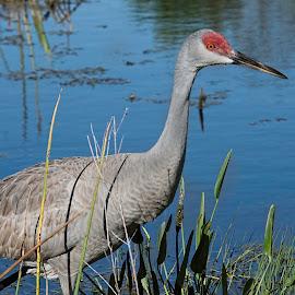 Sand Hill Crane by Rob Whidden - Animals Birds