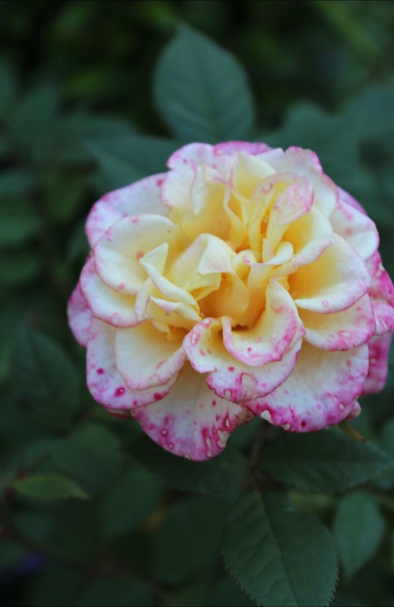 Il colore della rosa di Photograpy.emotions