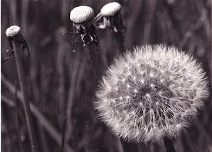 Photo: L'OURSIN ET LES MEDUSES. 1974 Pissenlit en graines et pissenlits nus -