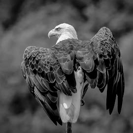 Bald Eagle by Debbie Quick - Black & White Animals ( lake champlain, raptor, debbie quick, nature, adirondacks, bald eagle, debs creative images, new york, birds of prey, outdoors, ticonderoga, bird, eagle, animal, black and white, wild, wildlife )