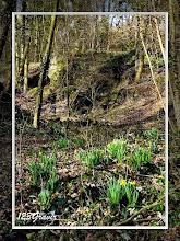 Photo: Jonquille, Narcissus pseudonarcissus