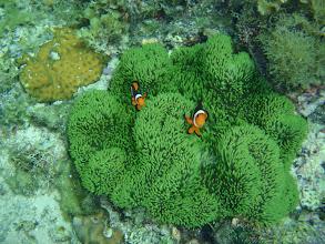 Photo: Stichodactyla gigantea (Rare Green Giant Carpet Anemone), Amphiprion ocellaris (Ocellaris Clownfish), Siquijor Island, Philippines