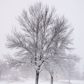 Snow Laden Trees by Camruin Kilsek - Landscapes Weather ( trees snow winter )