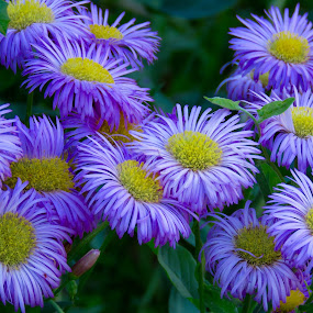 Aspen Fleabane by Nick Swan - Flowers Flowers in the Wild ( erigeron, wildflowers, fleabane )