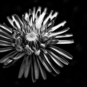 by Elaine Delworth - Black & White Flowers & Plants