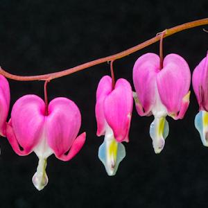 Five Pink Flowers on Black May 2017.jpg
