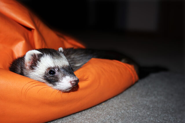 Do Ferrets Need Bedding?