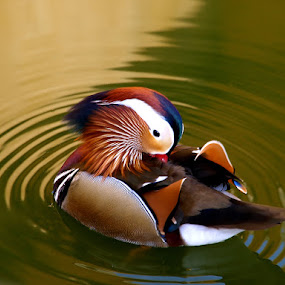 Mandarin Duck by Daggi Meyer - Animals Birds