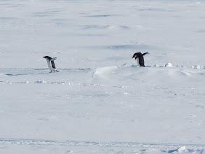 Photo: Adelie penguins.