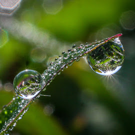 my dew,,, by Kawan Santoso - Nature Up Close Natural Waterdrops ( kaliketek 2 )