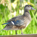 Wood Duck (aka Carolina Duck), Female