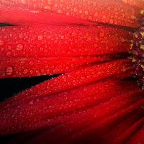 tears in red by Lara Zanarini - Nature Up Close Flowers - 2011-2013 ( pioggia, rosso, macro, colore, autunno, lara, fiori, rugiada, nero, zanarini, stagione )