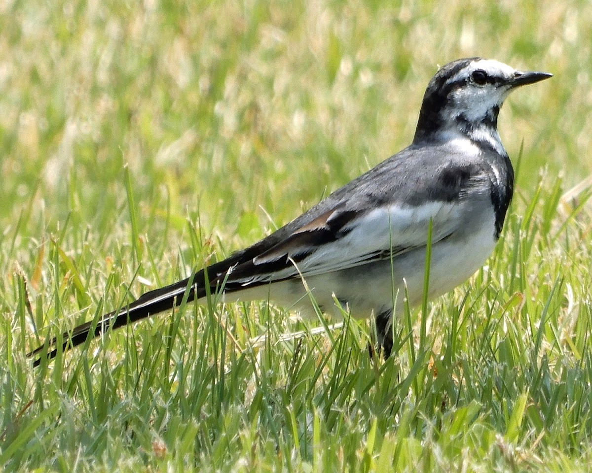 Black-Backed Wagtail