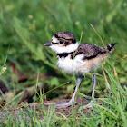 Killdeer Chick (With Adult)