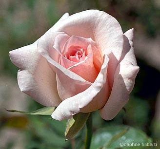 http://www.rosegathering.com/photos/hybridteas/ophelia.jpg