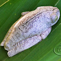 Sapo-martelo (Blacksmith tree frog)