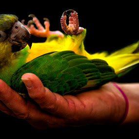 Chillin by Brent Sharp - Animals Birds ( hand, bird, colorful, color, relaxed, parrot,  )