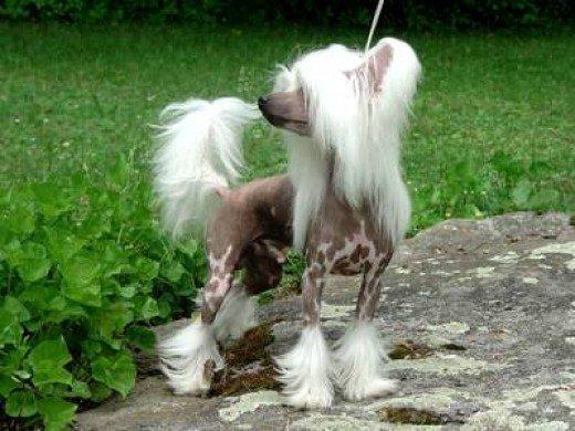 Plemeno Čínsky chocholatý pes