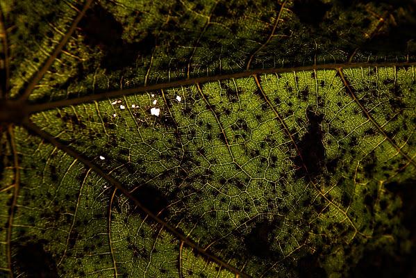 Leaf di nicolanigri