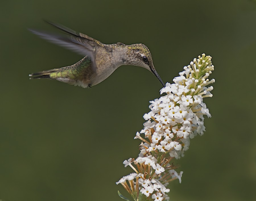 Ruby Throated Hummingbird by Shelley O'Connell - Animals Birds