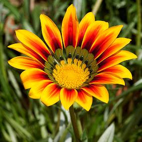 by Bharat Dudeja - Nature Up Close Flowers - 2011-2013 ( nature, daisy, garden, flower )