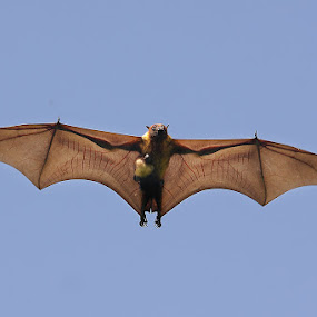 Flying Fox Bat with Kid in flight  by Sharad Agrawal - Animals Other Mammals