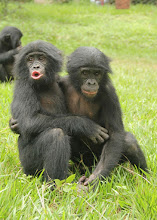 Photo: A bonobo consoles the loser in a fight. It calms the loser and avoids further conflict. Avoiding conflict is an useful mechanism if the group needs to work together to survive.  A bonobo female, Kuni, found a wounded bird in her enclosure at Twycross Zoo, in England. Kuni picked up the bird, and when her keeper urged her to let it go, she climbed to the highest point of the highest tree, carefully unfolded the bird's wings and spread them wide open, one wing in each hand, before throwing it as hard as she could toward the barrier of the enclosure. When the bird fell short, Kuni climbed down and guarded it until the end of the day, when it flew to safety. Not only did Kuni care for the bird but understood and remembered that a bird is supposed to fly.  People: what do we remember from this life and what do we remember from our genetic life? What behavior is from this time and what is from our old ways?