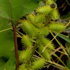 Common Cocklebur, broad bur, burdock datura, clotbur, rough cockleburr