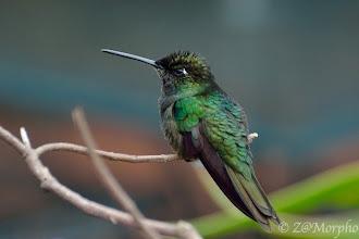Photo: Magnificent Hummingbird @ Savegre Lodge, San Gerardo de Dota