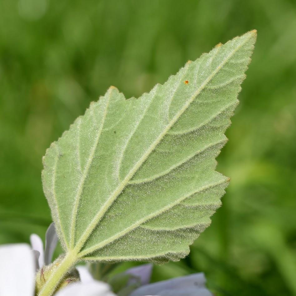 achterkant blad