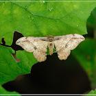 Hyposidra infixaria 陰鉤翅尺蛾