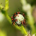 Southeastern Bush Katydid (nymph)