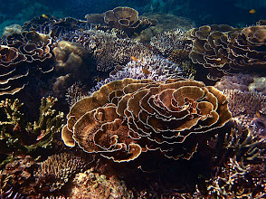 Photo: clumps of disc coral amidst staghorn and bush corals, Ao Maeyai