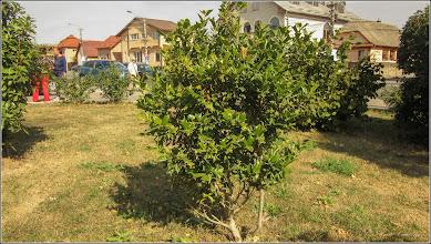 Photo: Laur (Ilex aquifolium variegata) - din Turda, Str. Andrei Muresanu. spatiu erde - 2019.09.09