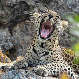 The leopard yawn by Charmane Baleiza - Animals Lions, Tigers & Big Cats ( leopard, female leopard, kruger national park, kruger, south africa, biyamithi, wildlife )