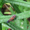 Striped Plant Hopper