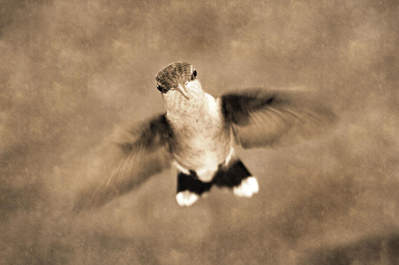 Photo: Enigma on Wings  Female Ruby-throated hummingbird.  #birdphotographymonday - +David Hemmings;  #backyardbirdingmonday = +Celeste Odono& +Ricky L Jones; #monochromemonday - +Charles Lupica , +Hans Berendsen, +Jerry Johnson& +Manuel Votta;  #breakfastclub  - +Gemma Costa& +Andrea Martinez; #textureblendphotography , #hummingbird , #xprocessingmonday - +Patrick Bordelofer& +Hans Tiefdeuchter; #plusphotoextract   www.PopsDigital.com