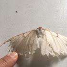 Albino Luna Moth