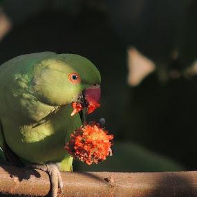 Rose Ringed Parakeet by Gayatri Pimple - Animals Birds ( green, black background, nature, bird photography, bird photos, bird, feeding, nature up close, beauty in nature, birds, portrait, nature close up )