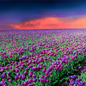 Endless tulips  by Runa Nightsongwoods - Landscapes Prairies, Meadows & Fields ( clouds, lights, field, purple, colors, sunset, tulip, cinematic, tulips, flowers, landscapes,  )