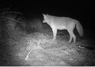 Photo: Nonamessett Coyote