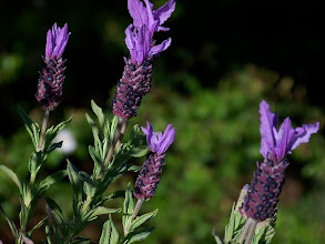 Photo: Lavandula luisieri