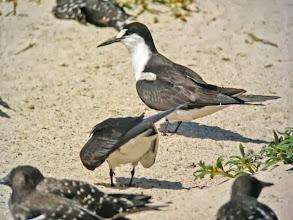 Photo: セグロアジサシ Sooty Tern