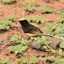 Whydah - Straw-tailed Whydah