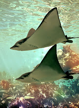 Photo: Stingrays swim is to fly to the sky.